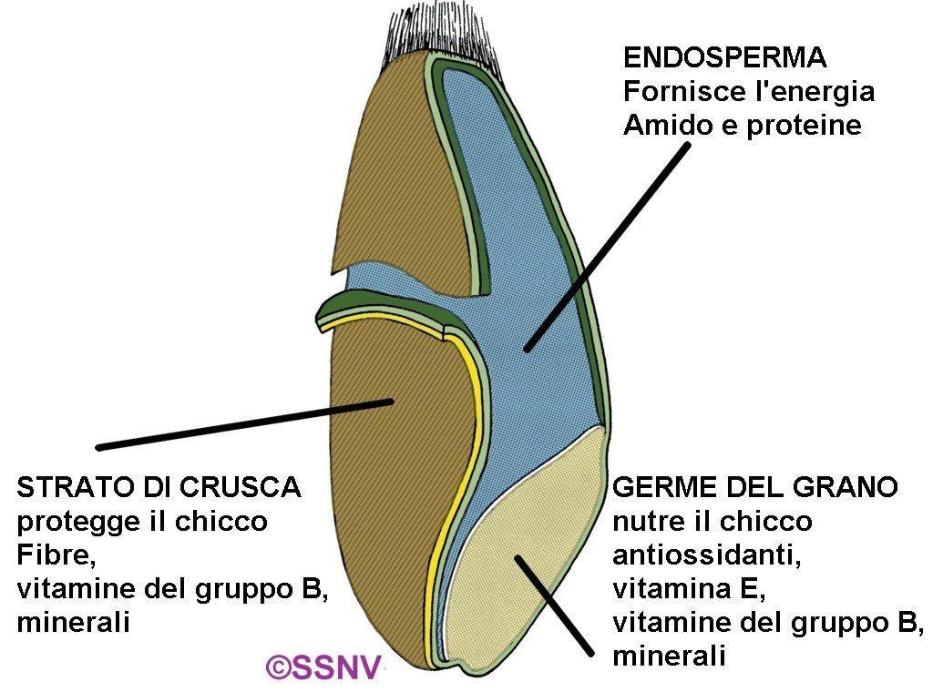 La struttura del chicco - I cereali integrali